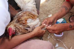 写真3: 鶏の足にブレードを装着する(撮影: 市川 哲)