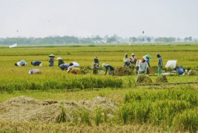 Busy harvesting the rice