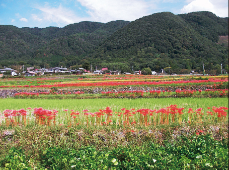 This landscape disappeared due to a new land consolidation program implemetation in Chitose-cho, Kameoka-shi, Kyoto Prefecture. The red flowers are cluster-amaryllis growing on a ridge of stone and soil surrounding rice fields. The rice fields were established through an ancient land consolidation program known as Jori a thousand years ago. The bulbs of the cluster-amaryllis used to be crops that saved people from famine after being exposed to water and starch. This rural landscape is a very unique one. (Ando, 2005)