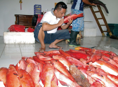 A Chinese-Indonesian Exporter Examining the Quality of Groupers (Bali, Indonesia, August 2008)