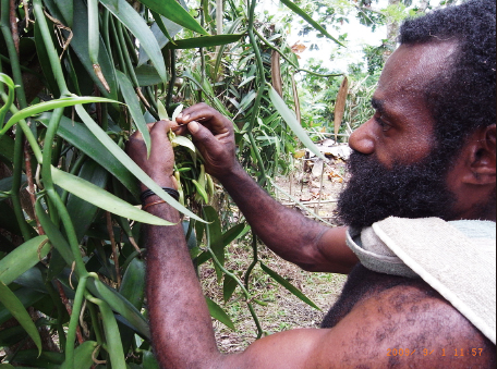 Production of vanilla beans has become a new source of earning cash fo the people in Sepik region of Papua New Guinea