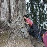 糸杉に触れる Touch Tshenden Shing (Cypress Tree)