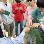 五葉松を手に取る Pick up leaves of blue pine
