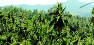 Coconut-palm gardens in South Minahasa Prefecture, North Sulawesi Province Large-scale coconut-palm gardens, opened in nineteenth-century insular Southeast Asia, in order to obtain edible oil and a material of margarine, still exist in many places including North Sulawesi.