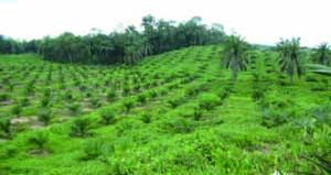 Newly Planted Smallholder's Oil Palm Estate in West Kalimantan Province