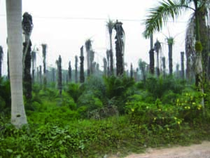 Replanted Old Oil Palm Plantation of a Nucleus Company in West Kalimantan Province