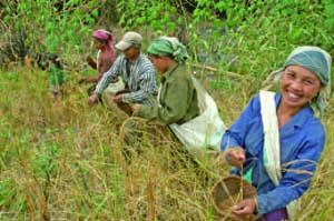 陸稲の収穫作業