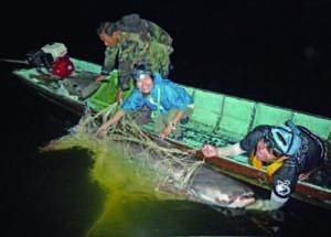 2013 年10 月ケンクラチャン湖で捕まえられた全長2m 程度のメコンオオナマズ。このオオナマ ズに超音波発信機をつけて、どこに行くのか後を追った。