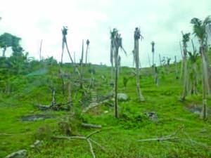 サマール島とレイテ島では台風ヨランダによって約250 万本のココ椰子が被害を受けた。